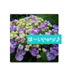 紫陽花と日常の挨拶(個別スタンプ:17)