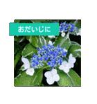 紫陽花と日常の挨拶(個別スタンプ:39)