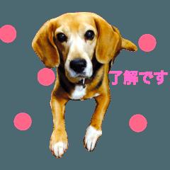 【ビーグル犬】キキのすてきな一日