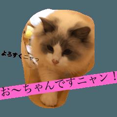 ラグドールおーちゃん ラッキー7ニャン!