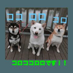 3柴犬 コロ・ココ・ロロ norinoripiiii