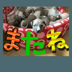 シュナちゃん&ウィペット親子のデカ文字