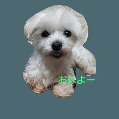 マルチーズ系のミックス犬 モカです