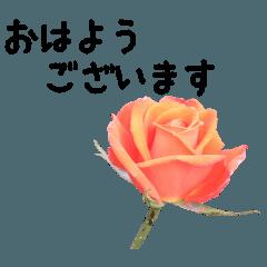 バラの花と敬語メッセージ2
