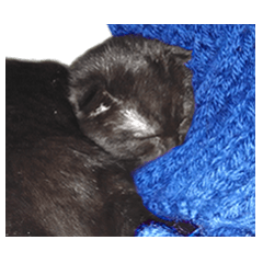 たぬきみたいな黒猫の『むつきちゃん』