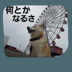 shibainu daisuki